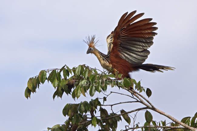 Hoatzin perchado en la rama con follaje verde. - foto de stock