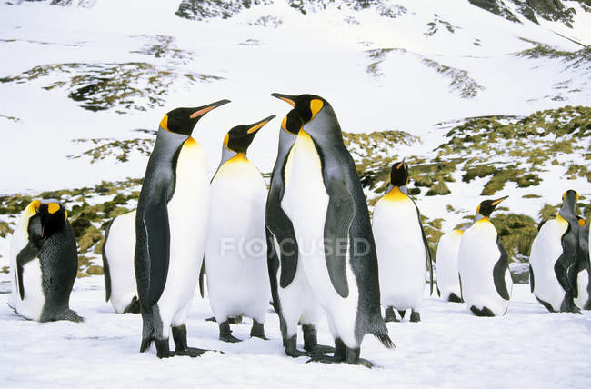 Courting king penguins at Salisbury Plain, South Georgia Island, Southern Atlantic Ocean — Stock Photo