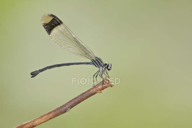 Damselfly si siede sul legno ramoscello, close-up. — Foto stock