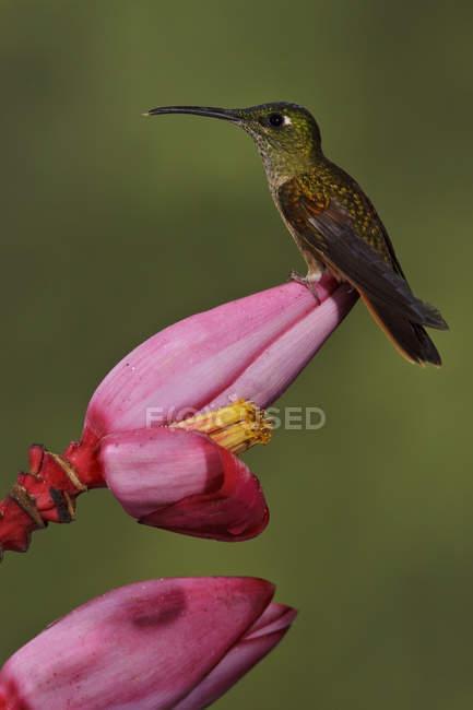 Primo piano di fulvo-breasted colibrì brillante arroccato su fiore esotico nella foresta pluviale. — Foto stock