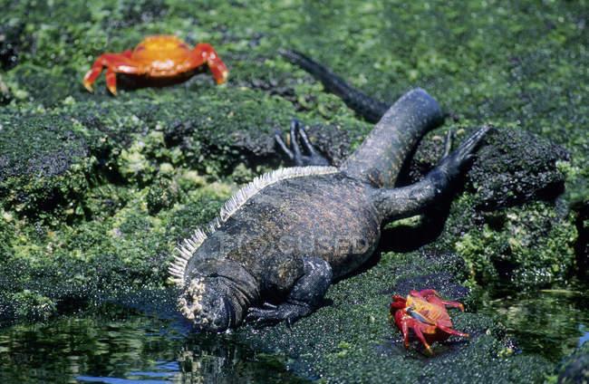 Marine iguana feeding on green algae at low tide with lightfoot crabs, Fernandina Island, Galapagos Archipelago, Ecuador — стокове фото