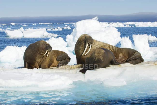 Femininas morsas atlânticas vadiando em blocos de gelo, arquipélago de Svalbard, Noruega Ártico — Fotografia de Stock