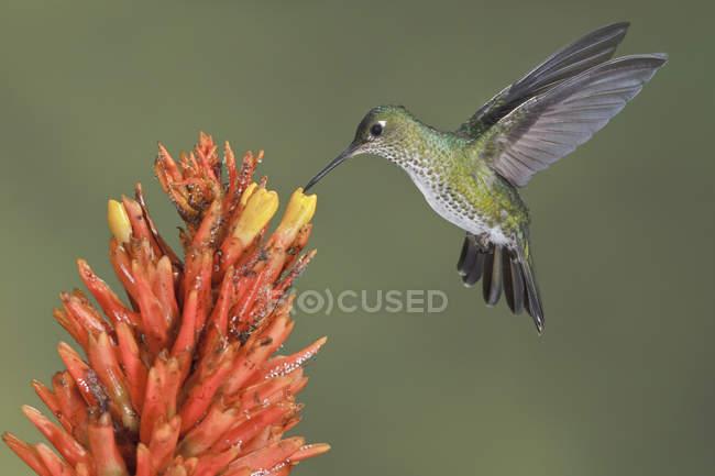 Hummingbird manchado muchos alimentación en flowera mientras volaba en la selva. - foto de stock