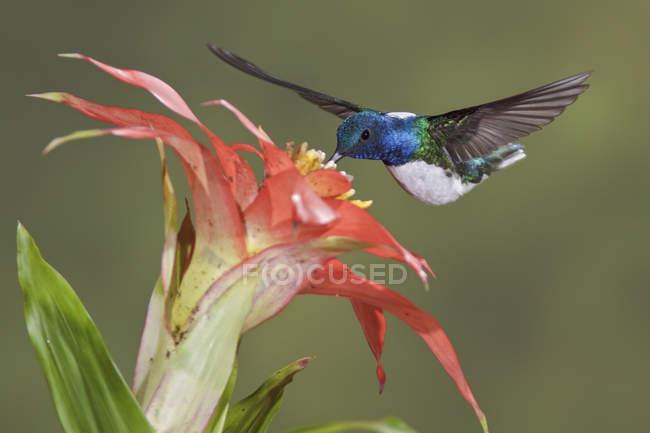 Білий шиєю якобінського годування на цвітіння рослин під час польоту в тропічних лісів, Закри. — стокове фото
