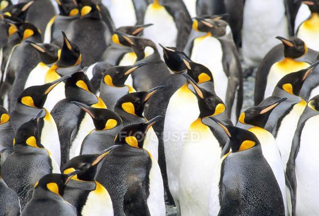 Линька Королевские пингвины на равнине Солсбери, остров Южная Георгия, Южной части Атлантического океана — стоковое фото