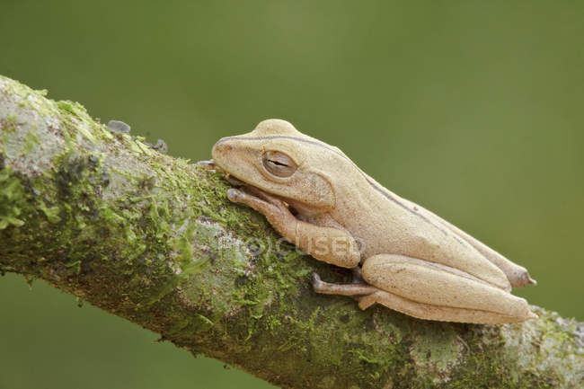 Tropical frog perched on branch in Ecuador. — Stock Photo