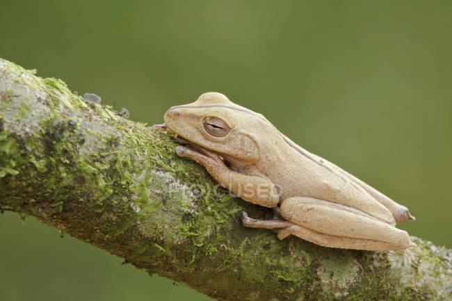 Rana tropicale appollaiato sul ramo in Ecuador. — Foto stock