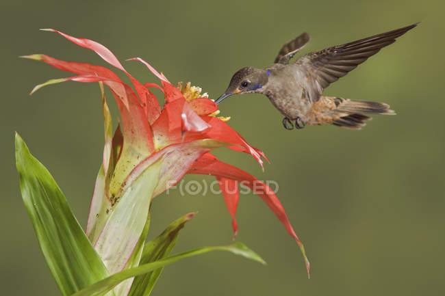 Коричневий violetear колібрі годування на екзотичних квітів під час польоту в тропіках. — стокове фото