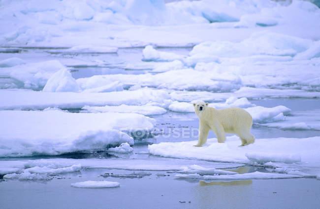 Ours polaire marchant sur la fonte des glaces de l'archipel du Svalbard, la Norvège Arctique — Photo de stock