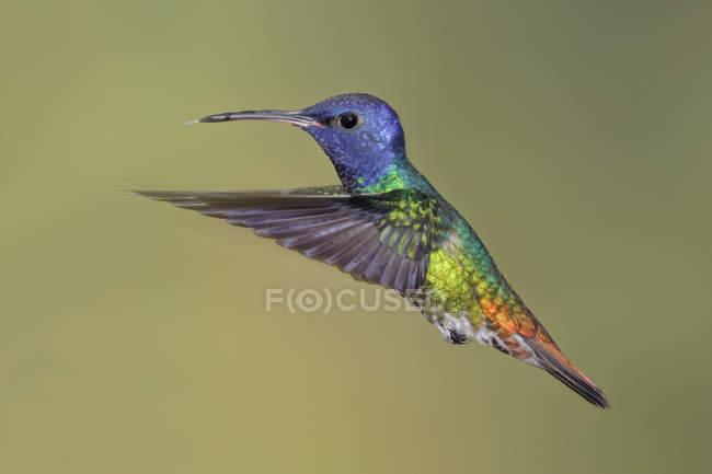 Colibrí zafiro oro cola revoloteando las alas al aire libre. - foto de stock
