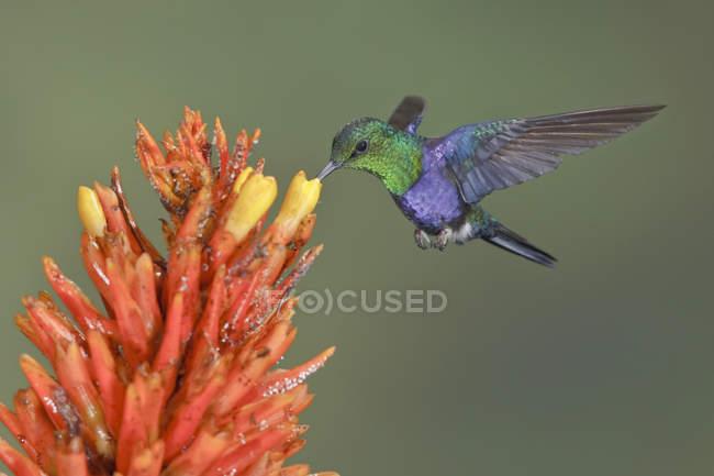Красочные вилка хвост woodnymph, парящей во время кормления на цветы в полете. — стоковое фото