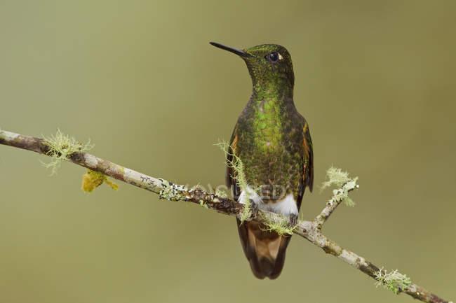 Primo piano del colibrì buff-tailed coronet appollaiato sul ramo muscoso. — Foto stock