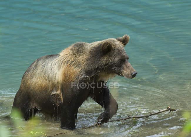 Urso pardo, emergindo da água em Tongass floresta nacional, Alaska, Estados Unidos da América. — Fotografia de Stock