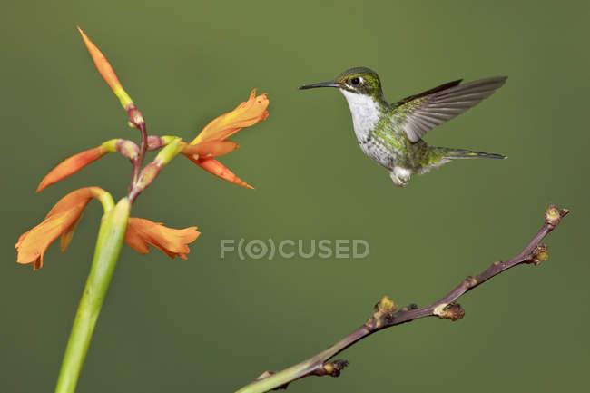 Андійський смарагдовий колібрі політ під час годування на квіткова рослина в Еквадорі. — стокове фото