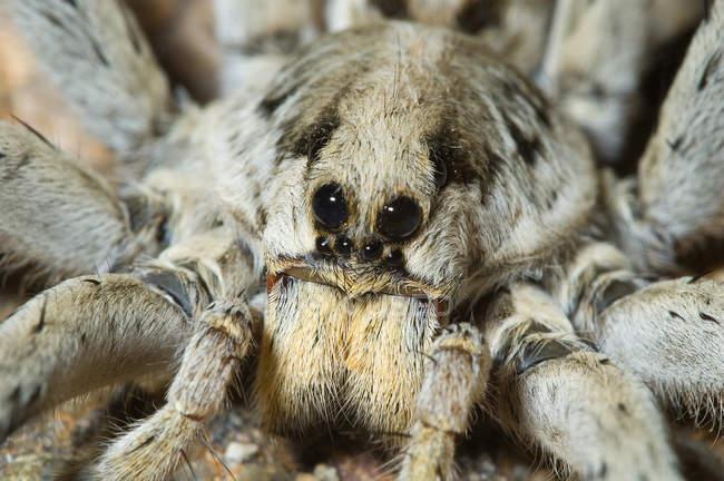 Aranha-lobo adulto olhos e pernas, close-up. — Fotografia de Stock