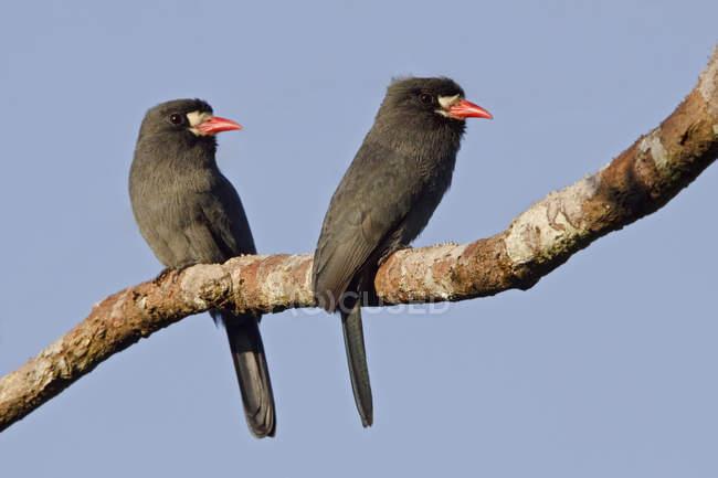 Nunbirds dal petto bianco appollaiato sul ramo in Ecuador Amazonian. — Foto stock