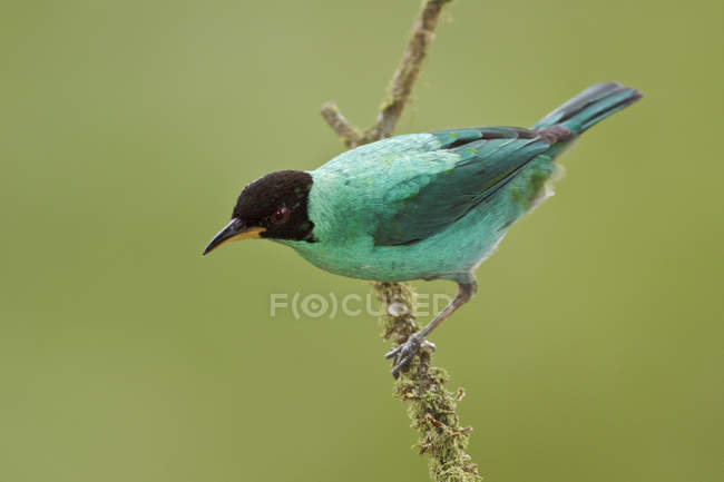 Green Honeycreeper hummingbird perched on branch in tropical forest. — стоковое фото