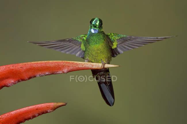 Зеленый увенчанными блестящий колибри усаживаться на экзотический цветок, макро. — стоковое фото