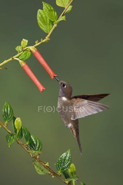 Браун інків колібрі годування на екзотичних квітів під час польоту. — стокове фото