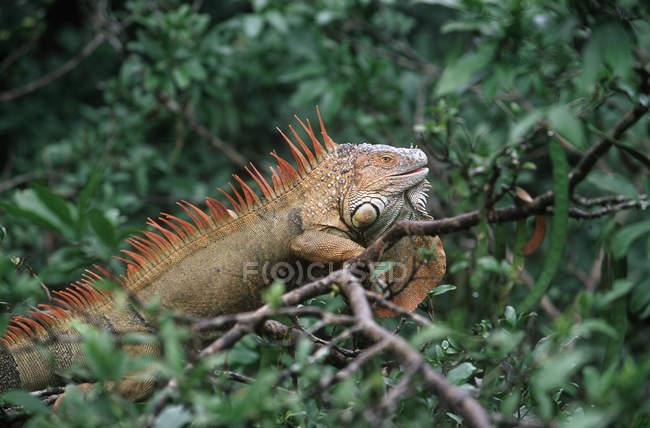 Green iguana sitting in tree foliage at Muelle, Costa Rica — Stock Photo