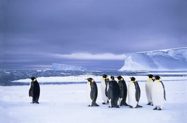 Императорских пингвинов, ждет на краю льда для нагула поездка в море Уэдделла, Антарктида. — стоковое фото