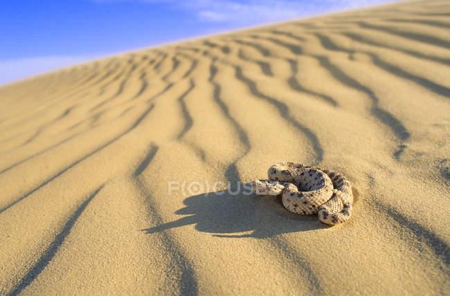 Гремучая змея на песке имперских дюн в пустыне Соноран, Калифорния, США — стоковое фото