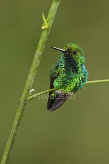 Colibrì verde smeraldo occidentale appollaiato sul ramo di foresta pianta. — Foto stock