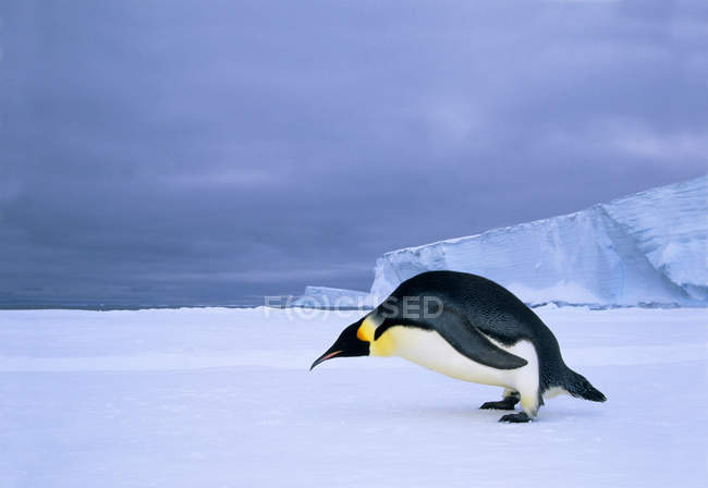 Emperor penguin bending at edge of fast ice, Weddell Sea, Antarctica. — Stock Photo