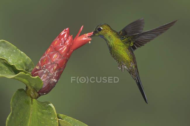 Зелений коронований блискучий колібрі годування на квітка під час летить, Закри. — стокове фото