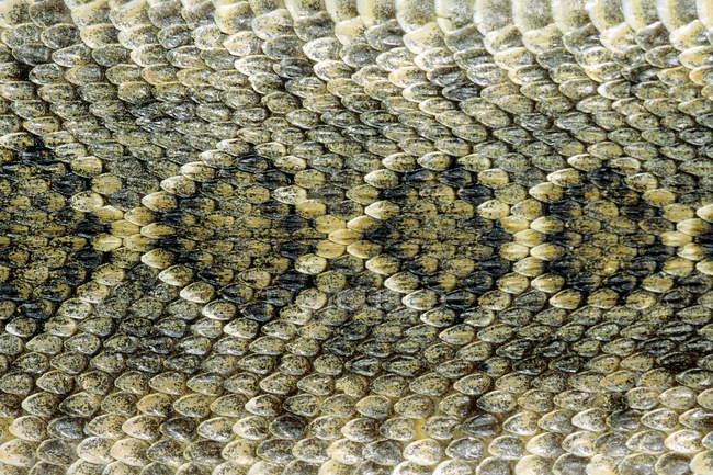 Scale pattern on back of western diamondback rattlesnake, Texas, USA — Stock Photo