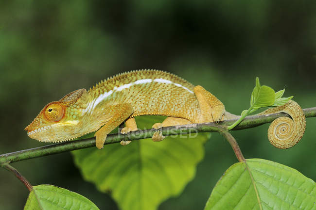 Panther chameleon on tree twig in Madagascar. close-up. — Stock Photo