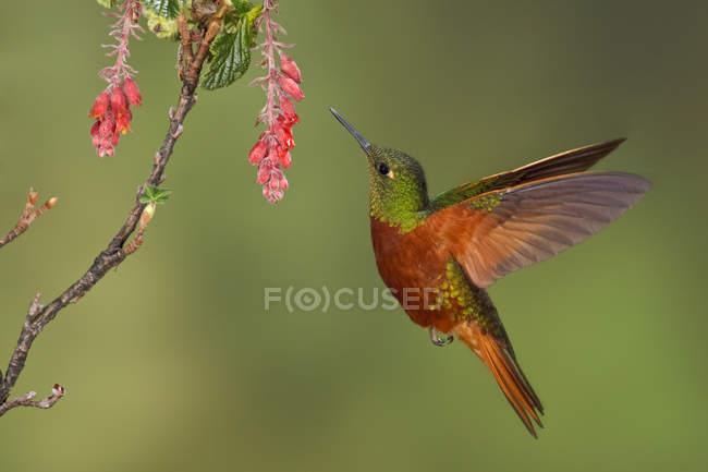 Каштан грудьми coronet колібрі годування в тропічних квітів під час польоту. — стокове фото