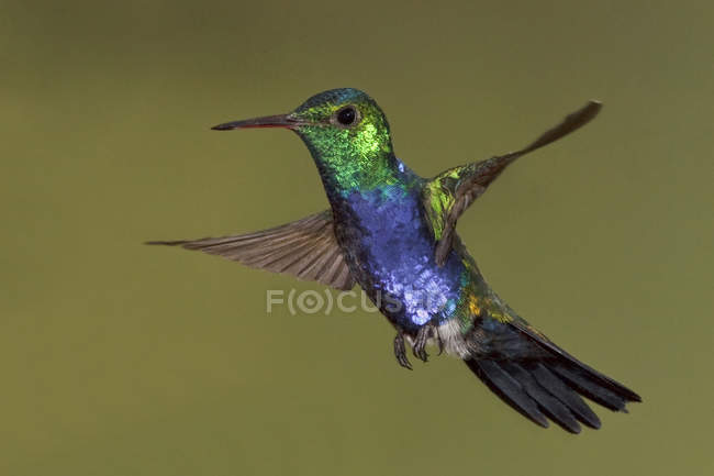 Фиолетовый пуговчатый колибри парящей крылья на открытом воздухе. — стоковое фото