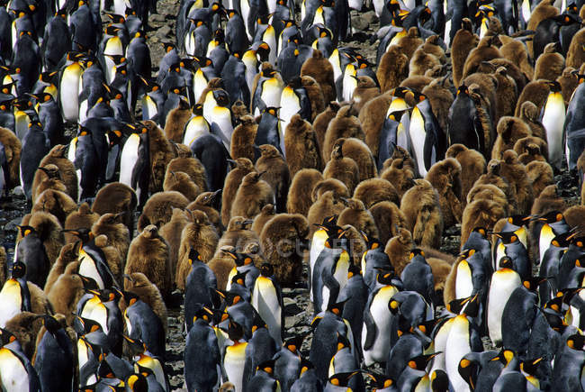 King penguins with chicks at Salisbury Plain, South Georgia Island, Southern Atlantic Ocean — Stock Photo