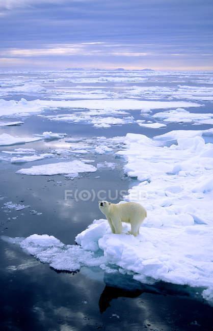 Ours polaire debout sur la fonte des glaces de l'archipel du Svalbard, la Norvège Arctique — Photo de stock