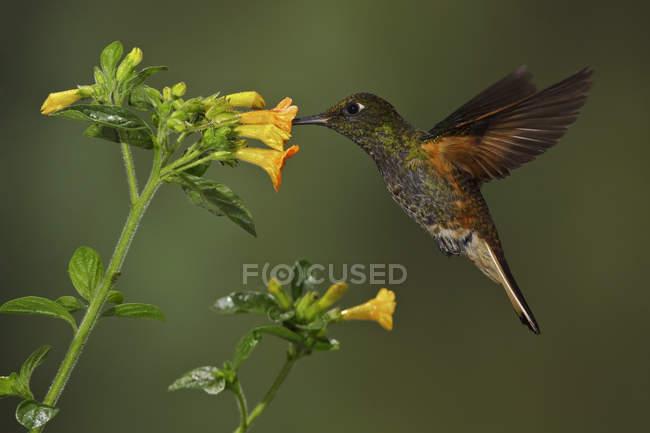 Баффі білохвоста coronet колібрі годування на квіти під час летить, Закри. — стокове фото