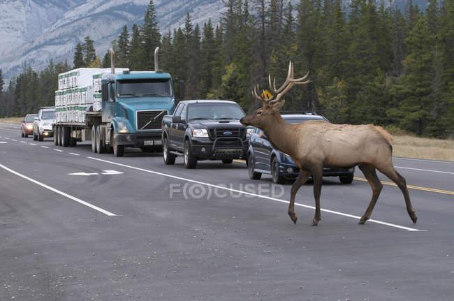 Wilde elche überqueren autobahn im jasper nationalpark, alberta, kanada — Stockfoto