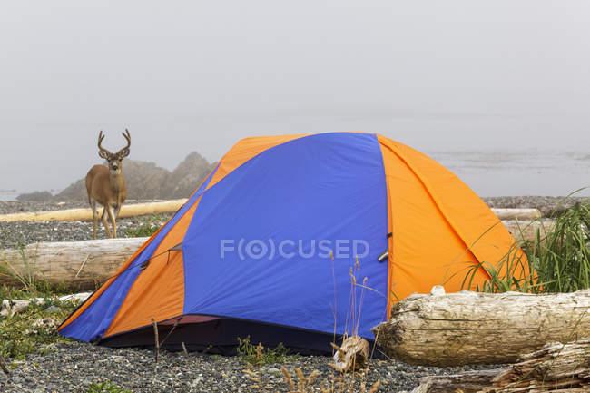 Schwarzschwanzbock neben Touristenzelt auf Insel im Nuchatlitzer Provinzpark, Vancouver-Insel, britische Kolumbia, Kanada. — Stockfoto