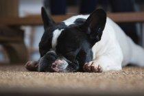 Primo piano del cane sdraiato sul tappetino a casa — Foto stock
