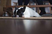 Крупный план собаки, лежащей дома на коврике — стоковое фото