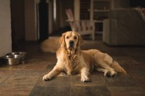 Собака Лабрадор розслабляючий будинок — стокове фото