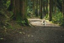 Собака работает на треке в пышные леса — стоковое фото