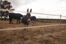 Одомашнених ослик у ранчо — стокове фото