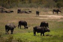 Búfalos salvajes pastando en el parque de safari en un día soleado - foto de stock