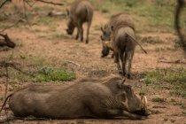 Wildschweine entspannen sich an einem sonnigen Tag im Safaripark — Stockfoto