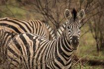 Gros plan du zèbre dans le parc safari — Photo de stock