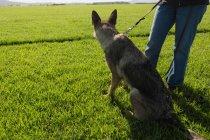 Vue arrière du chien de berger attentif, assis sur le terrain avec son propriétaire — Photo de stock