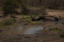 Nashörner entspannen sich in der Nähe von Gedränge im Safaripark — Stockfoto