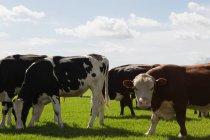 Close-up de gado pastando na fazenda em um dia ensolarado — Fotografia de Stock