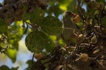 Uccello che mangia frutti sull'albero — Foto stock